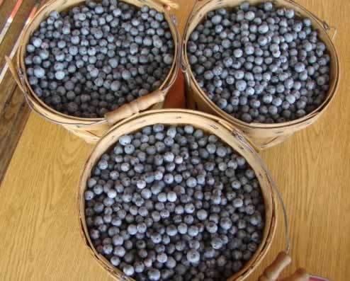 Freshly picked, East Texas blueberries