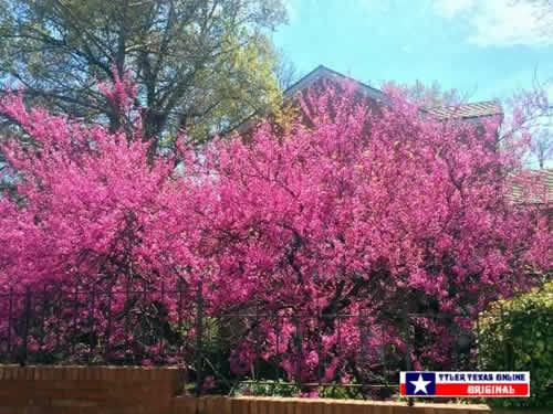 2019 Tyler Texas Azalea And Spring Flower Trails March 22