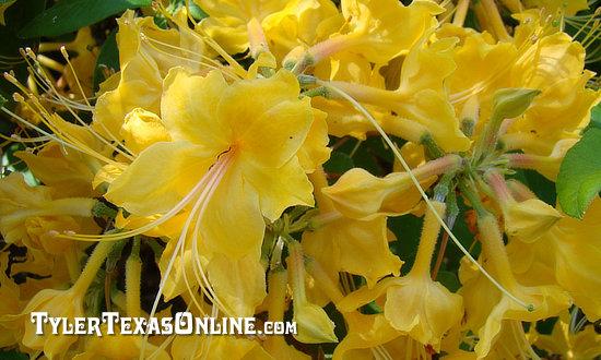 2020 Tyler Texas Azalea And Spring Flower Trails March 20