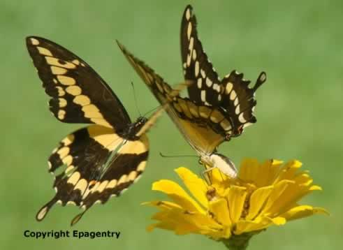East Texas Butterflies Swallowtails Monarchs Mourning