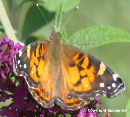 Painted Lady Butterfly in East Texas