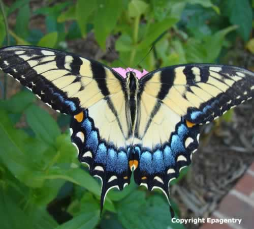 Tiger Swallowtail, from the Tyler Texas Butterfly Gallery