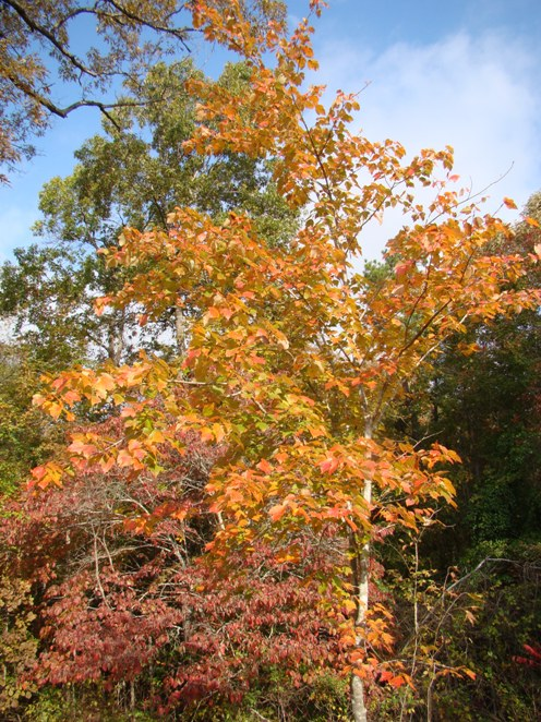 Maple tree in full fall color near Tyler Texas