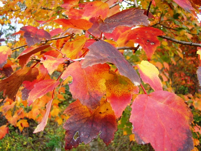 Maple tree fall colors at peak in East Texas