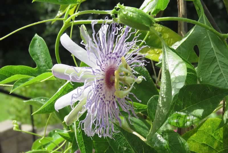 Native Passion Vine blooming in East Texas