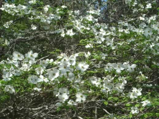 East texas flowers trees dogwoods daffodils wildflowers photographs dogwoods in spring in texas mightylinksfo