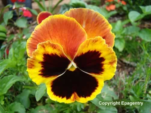 Texas Pansy blooming in the spring
