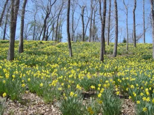 Field of Daffodils in Texas
