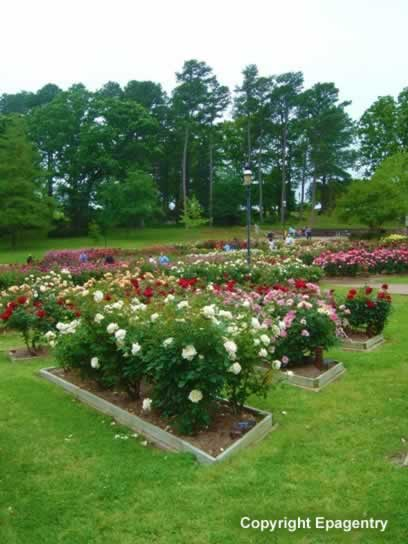 Roses In Garden: Tyler Texas Photo Galleries And Photographs Of East Texas