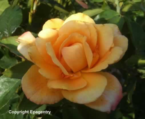 Tyler Texas rose bloom