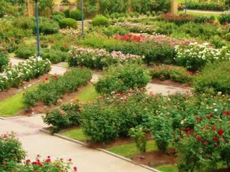 Thousands of rose bushes ... at the Tyler Rose Garden