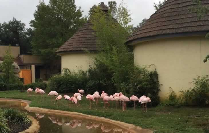 Beautiful pink flamingos at the Caldwell Zoo in Tyler