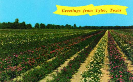 Greetings from the Tyler, Texas rose fields