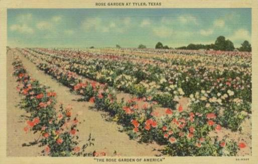 Rose fields in Tyler, Texas