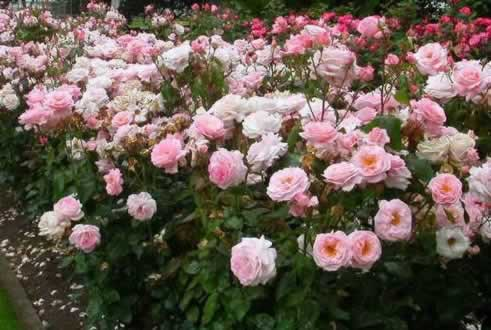 The Tyler Rose Garden ... nation's largest municipal rose garden